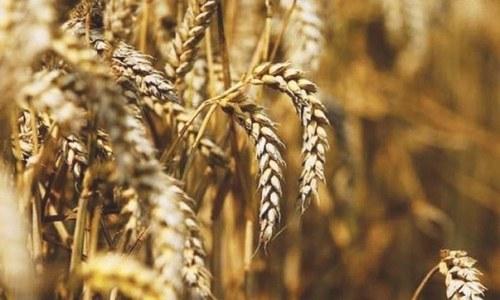 ای سی سی نے کم تعداد میں گندم درآمد کرنے کا حکم دے دیا