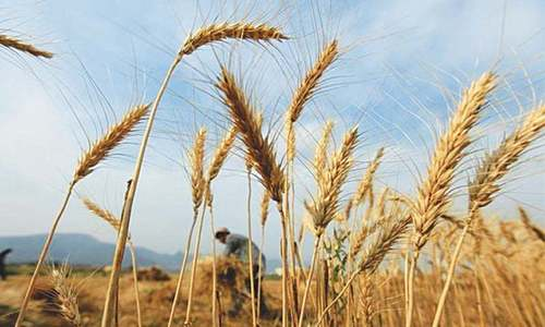 Wheat production target remains unmet, Senate panel told
