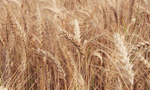 TCP gets lowest wheat bid from Russia