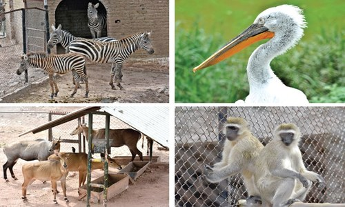 44 Marghazar Zoo animals temporarily shifted to Ayub Park