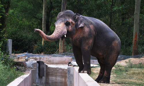 IHC orders govt to expedite relocation of Kaavan, brown bears