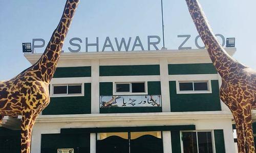 Injured Bengal tigress dies in Peshawar zoo