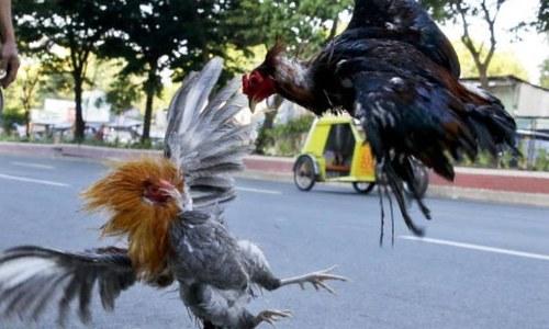 فلپائن میں مرغے کے حملے میں پولیس افسر ہلاک