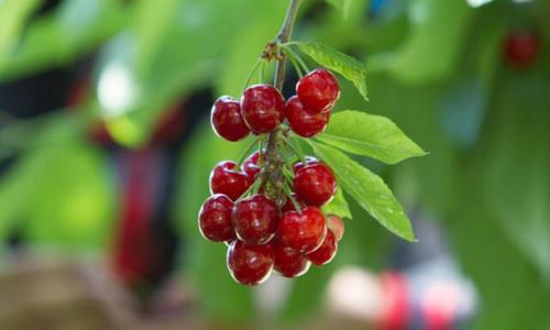 Pakistan to export cherries to China next year