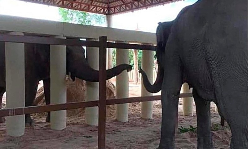 Lonely no more: Kaavan the elephant makes new friend at Cambodian sanctuary