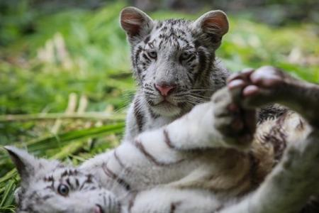 Two white tiger cubs likely died of Covid-19, Lahore Zoo officials say