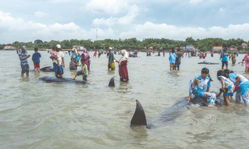Forty-six whales die on Indonesian beach