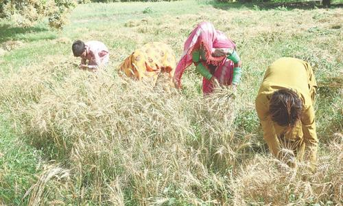 Sindh eyes wheat production target of 4m tonnes