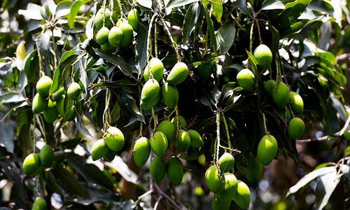 PPP seeks probe into felling of mango trees in Multan