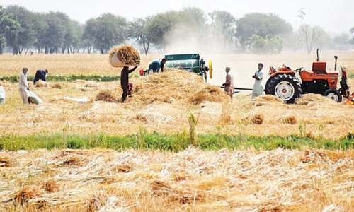 Small farmers in Sindh may not get wheat support price — again