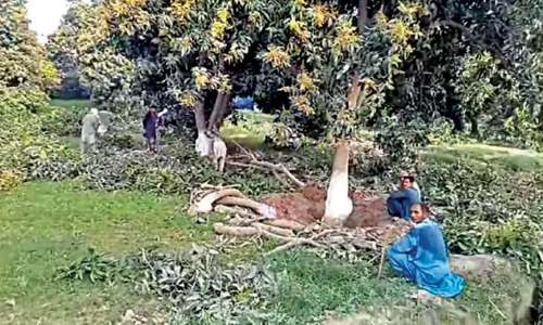 Orchards of Mango City being devoured by housing schemes