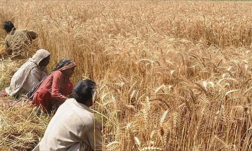 Wheat harvest begins in south Punjab districts