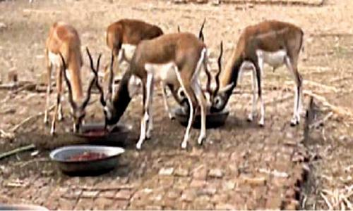 Black bucks being reared in Cholistan's natural habitat