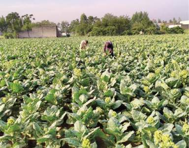 Incentives sought for tobacco growers