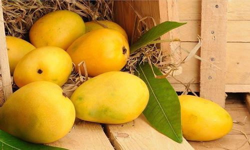 Mango harvest gets under way in Sindh