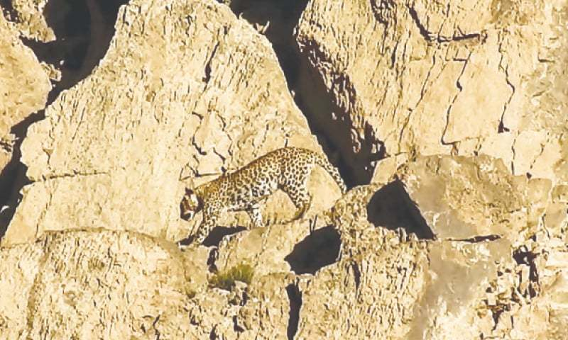 Rare Persian leopard pair spotted in Balochistan