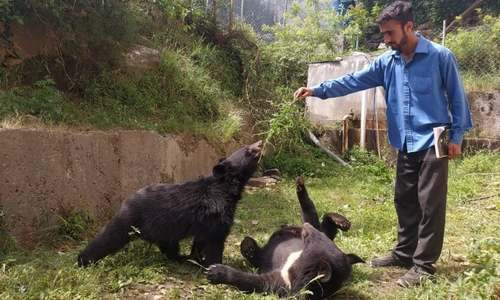 Twin orphaned bear cubs given shelter near Pakistan-India border