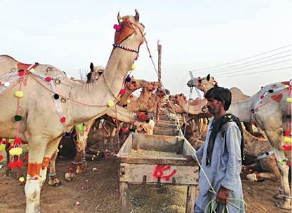 Punjab expects Rs110bn trade of sacrificial animals