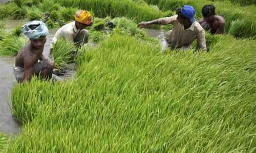 Next week's monsoon blessing for some growers, worry for others