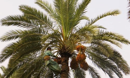 Rodent attacks destroy date palms in Chagai