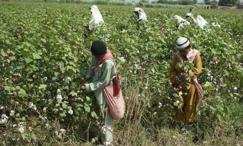 سندھ کے دیگر علاقوں کے برعکس مٹیاری میں کپاس اور گنے کی فصل اچھی کیوں؟