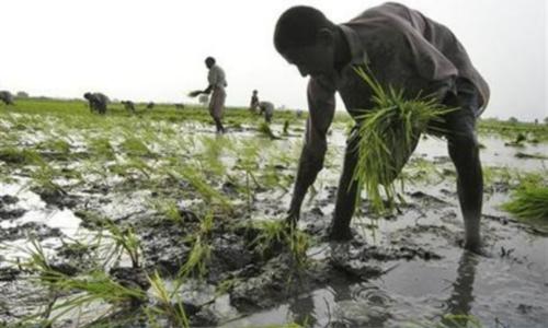 HBL, BoP offer insured crop production loans