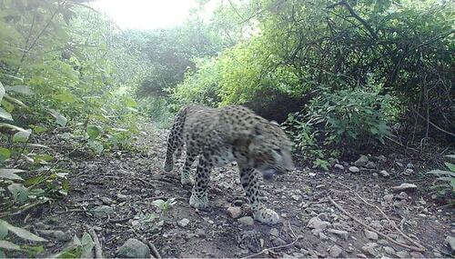 Camera traps show resurgence of leopards in Islamabad's Margala Hills