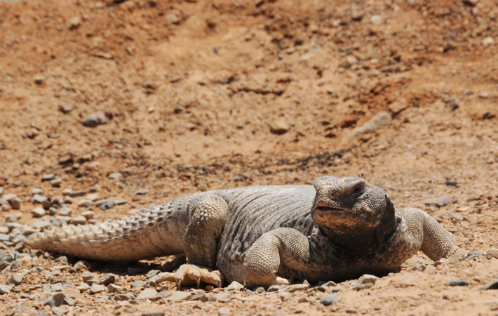 An Uromastyx lizard, also known as a dabb lizard, is seen in a desert near Tabuk.—Photo by Reuters