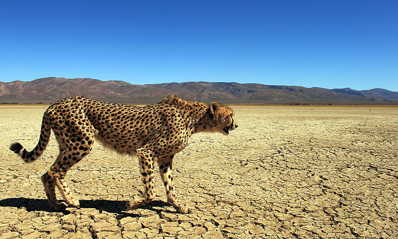 A cheetah is pictured at the private game reserve of French Damien Vergnaud in Inverdoom, 200 kms north east of Cape Town. The cheetah, the world's fastest land animal, survived mass extinction during the last ice age 10,000 years ago. But it has taken just the last few decades for man to place the hunter on the endangered species list, with experts warning it could disappear from the wild by 2030.—Photo by AFP