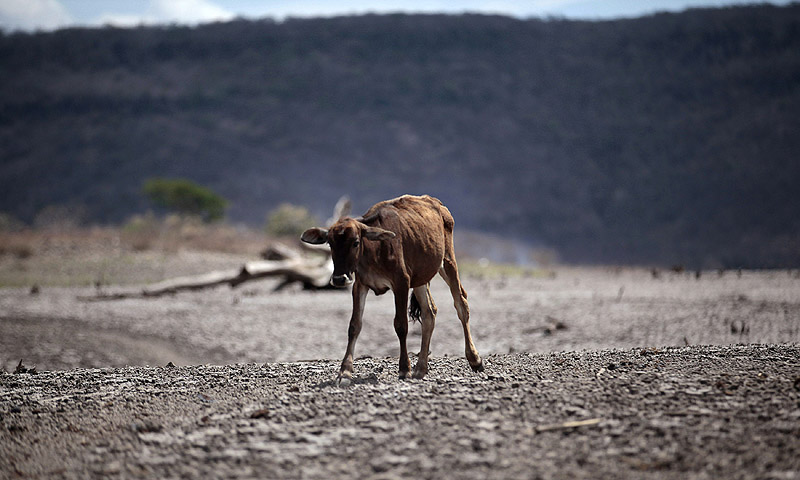 A calf walks on cracked ground at the Las Canoas dam, some 59 km north of the capital Managua.—Photo by Reuters