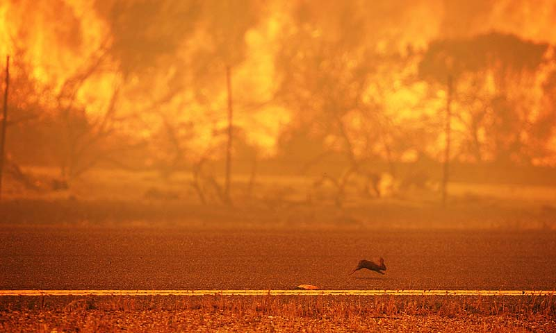 A rabbit runs from a wildfire burning along the Pacific Coast Highway near Point Mugu State Park in Ventura County, California. Some 4,000 homes were threatened by a growing wildfire northwest of Los Angeles that has forced the closure of California's scenic coastal highway, firefighters said Friday.—Photo by AFP