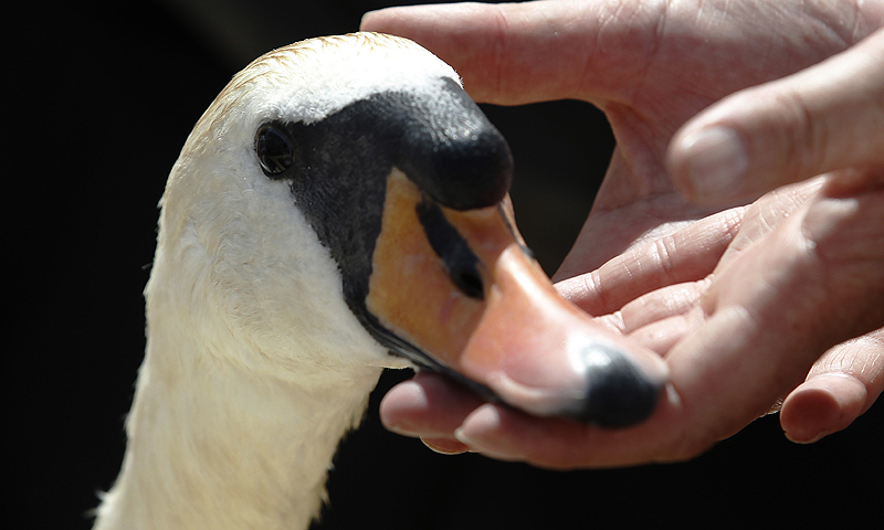 A swan is inspected by a Queen's Swan Upper during the annual Swan Upping ceremony on the River Thames between Shepperton and Windsor in southern England. Young cygnets are counted and swans and cygnets are assessed for signs of injury or disease during the ceremony. The five-day census of the swan population dates back to the twelfth century when the Crown claimed ownership of all mute swans. Today, the Crown retains the right to ownership of all unmarked mute swans in open water, but The Queen only exercises her
