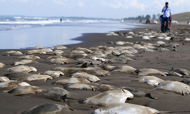 People walk near hundreds of dead stingrays on the shore of the beach in Chachalacas. Villagers found the dead stingrays on Tuesday and alerted the authorities, who are investigating, according to local media.—Photo by Reuters