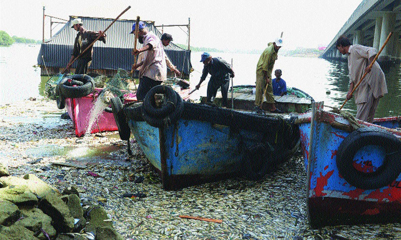 Dead fish being collected in the Chinna creek on Monday. — White Star