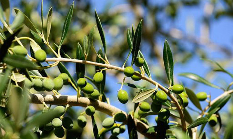 Olive cultivation was initiated in 1980's in Swat, Waziristan and Mansehra under a small Italian-funded project. -File photo by AFP