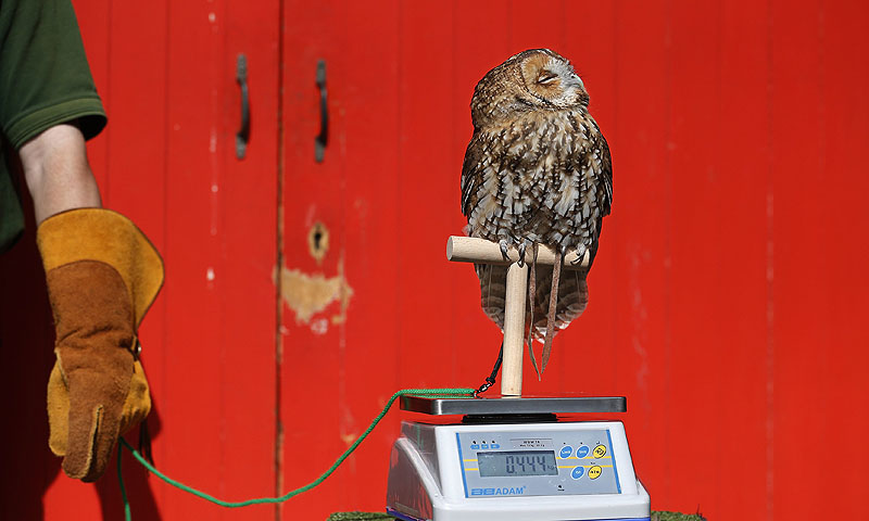 Alberta, a Tawny Owl, perches on a scale.—Photo by AFP
