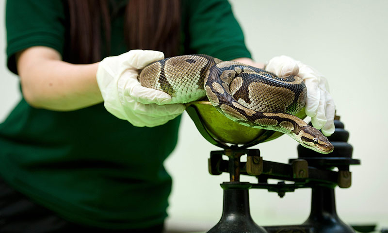 A Royal Python is placed onto a weighing scale.—Photo by AFP