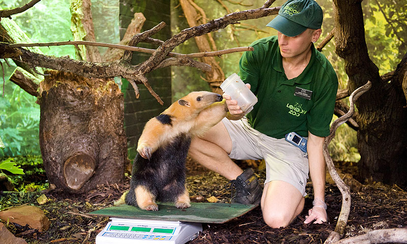Tammy, a Tree anteater, is weighed.—Photo by AFP