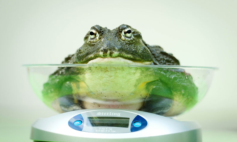 An African Bullfrog is placed on a weighing scale.—Photo by AFP