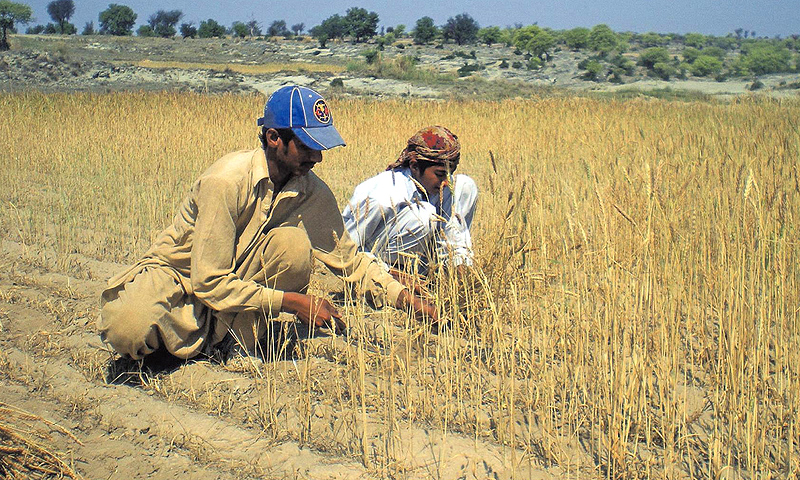 A farmer works on his field in Chakwal. -File photo by Dawn