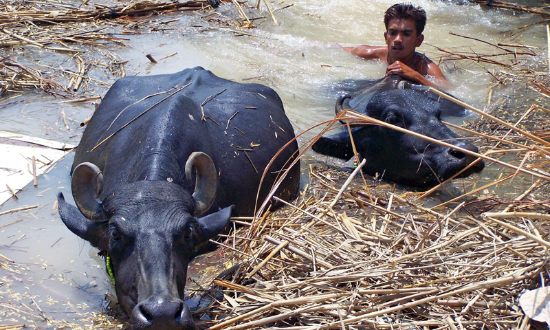 A boy crossed a flooded area with his buffaloes in Hyderabad. – Photo by INP