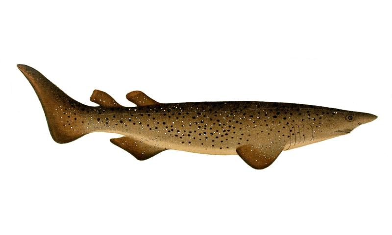 rare sharks species