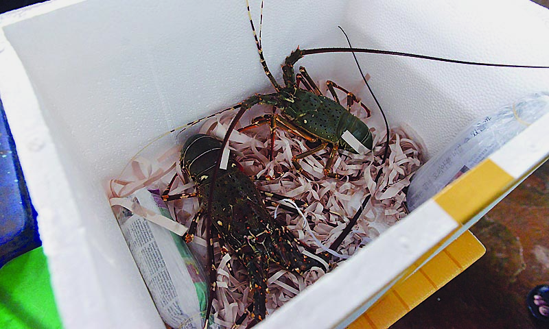 The government exchequer, they said, was suffering losses because lobsters, like fish and shrimps, were caught indiscriminately throughout the year in violation of the law.  — Photo by White Star