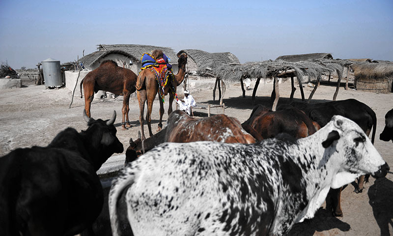 This photograph taken on February 17, 2014 shows a  villager sitting alongside his cattle and camels at the proposed site of the solar energy park at Badaiwani Wala village in Bahawalpur district of Punjab province. — Photo by AFP
