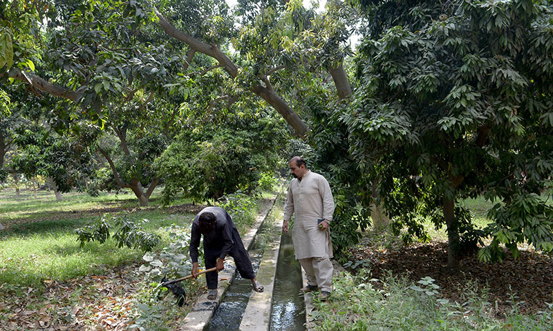 In this photograph taken on May 10, 2014, Pakistani mango grower Muhammad Ali (R) looks on as he inspects a labourer undertaking irrigation work on his mango farm some 40 kilometres north-east of the central city of Multan.  — Photo by AFP