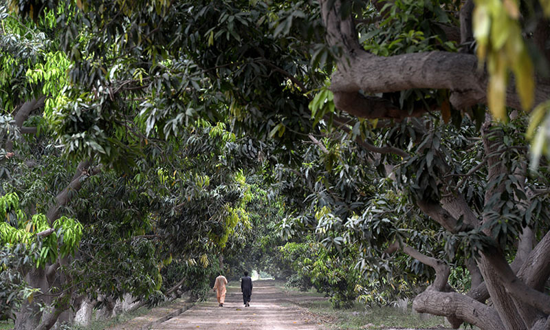 In this photograph taken on May 10, 2014,  Pakistani formers walk in the mango farm some 40 kilometres north-east of the central city of Multan.  — Photo by AFP