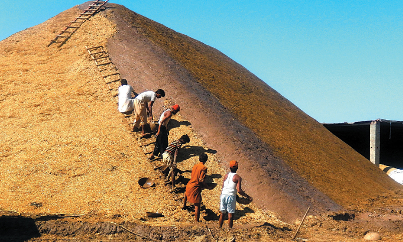 SAHIWAL: Farmers make a Dhar to store chaff. — Dawn