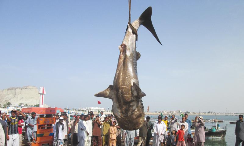 A whale shark caught in Balochistan