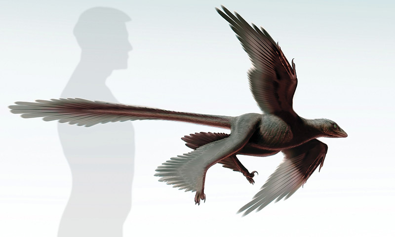 LOS ANGELES: The Dinosaur Institute of Natural History Museum shows a newly discovered feathered dinosaur, the Changyuraptor Yangi. — AFP