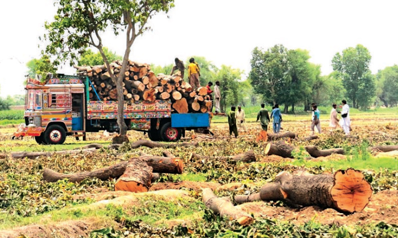 Trees being removed from land purchased by the Punjab government for setting up the coal-fired power plant .— Photo by Dawn